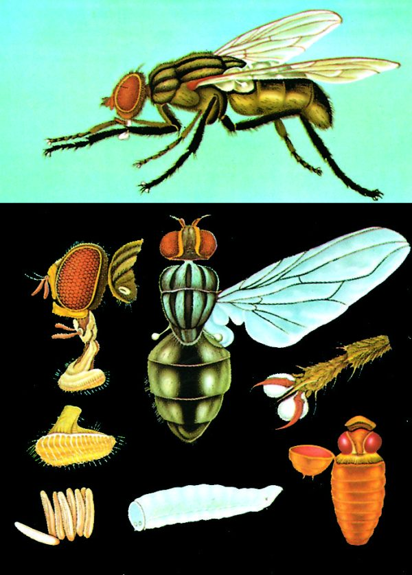 Musca 1
