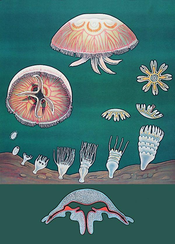 Meduza 1