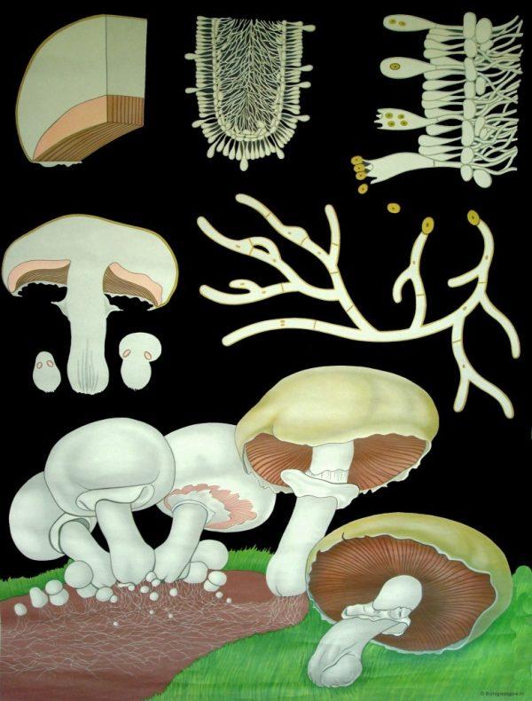 Ciuperca de camp 1
