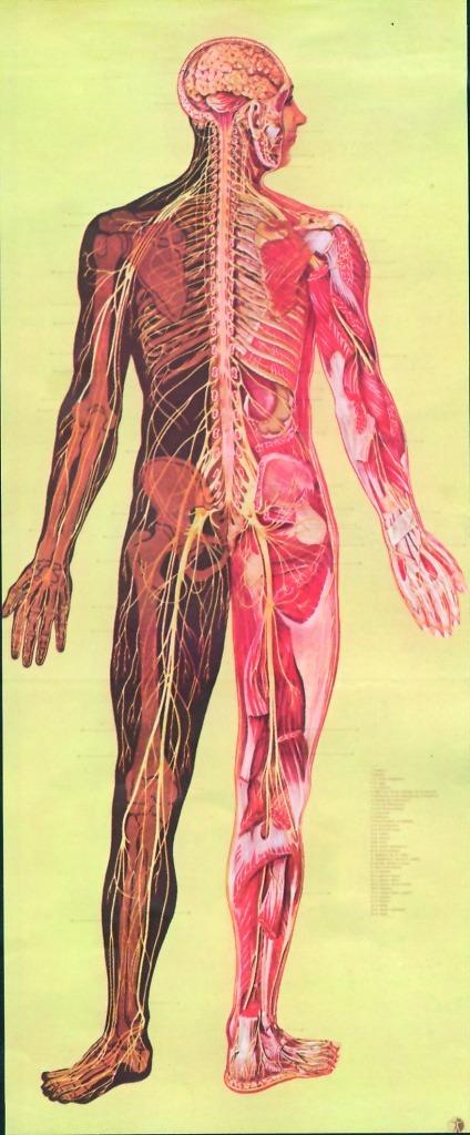 Sistemul nervos 2