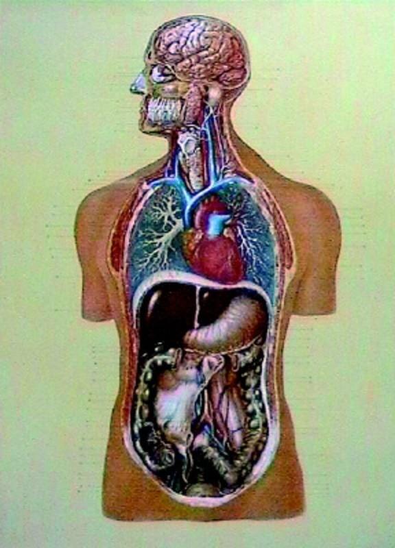 Organele interne 1