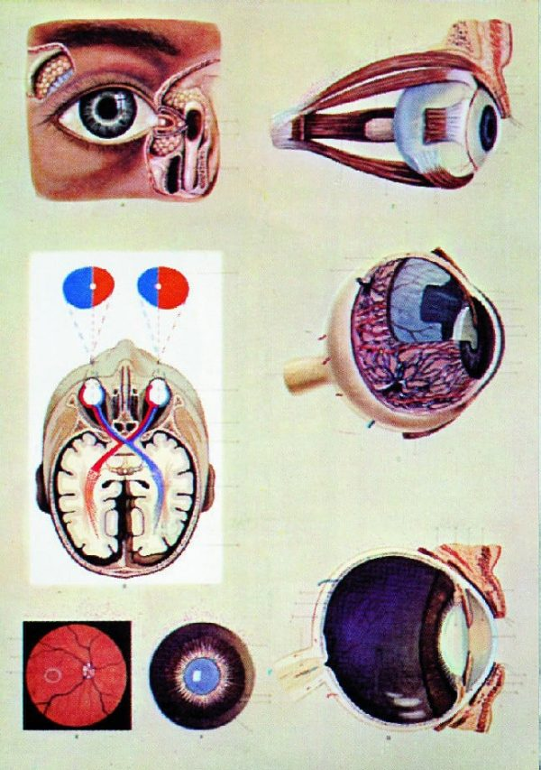 Ochiul uman - fiziologia vederii 1