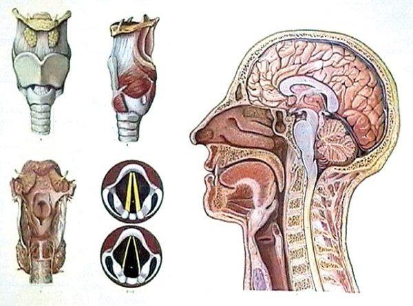 Capul si laringele 1