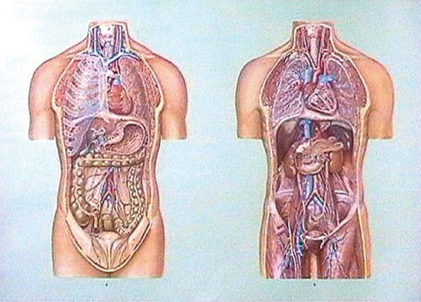 Organele cavitatii toracice si abdominale I 1