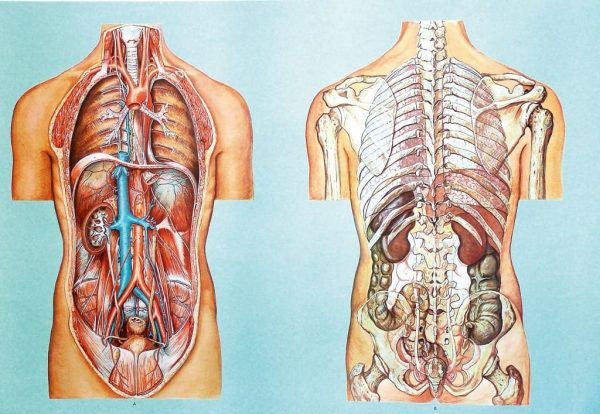 Organele cavitatii toracice si abdominale II 1