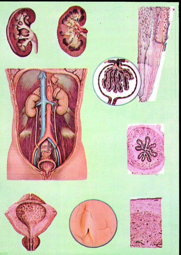 Sistemul excretor si aparatul renal 1