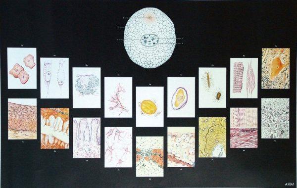 Celula si tesuturile umane 1