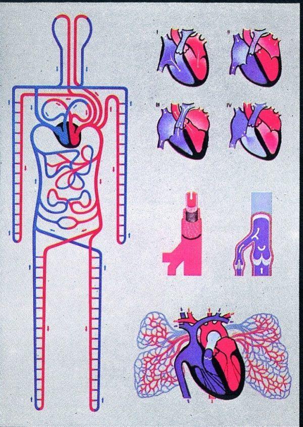 Circulatia sistemica si pulmonara 1