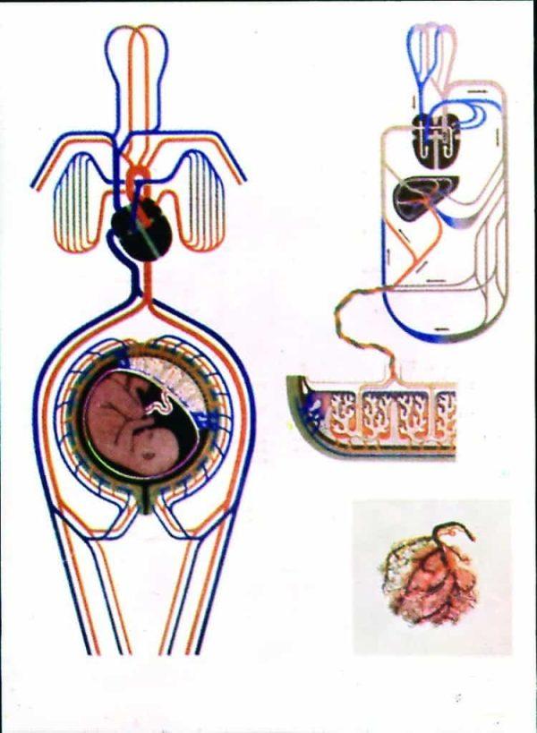 Circulatia materna si fetala în timpul sarcinii 1