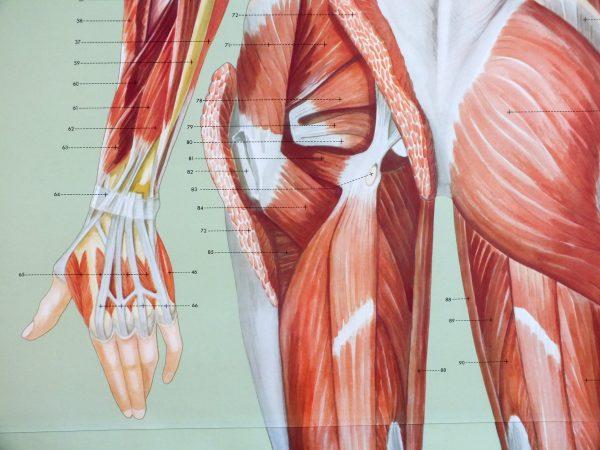 Sistemul muscular - spate 2