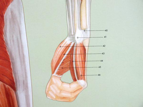 Sistemul muscular - spate 4