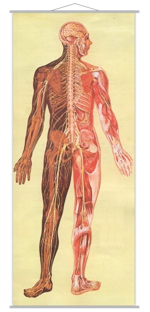 Sistemul nervos 1