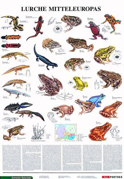 Amfibienii Europei Centrale 1