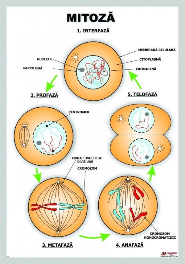 Mitoza 1
