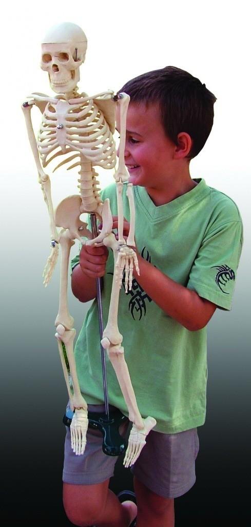 schelet 23