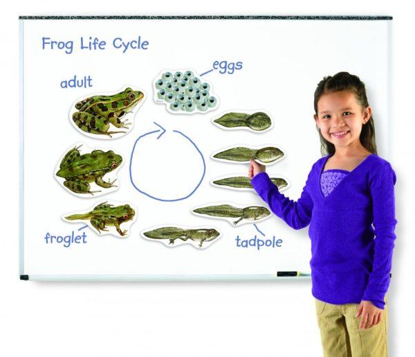 Ciclul vietii broastei - set magnetic 1