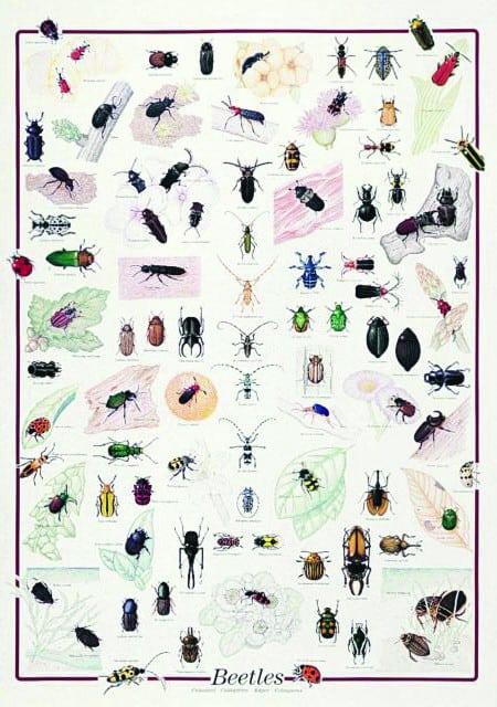 Gandaci, insecte 1