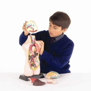 Modele Anatomie