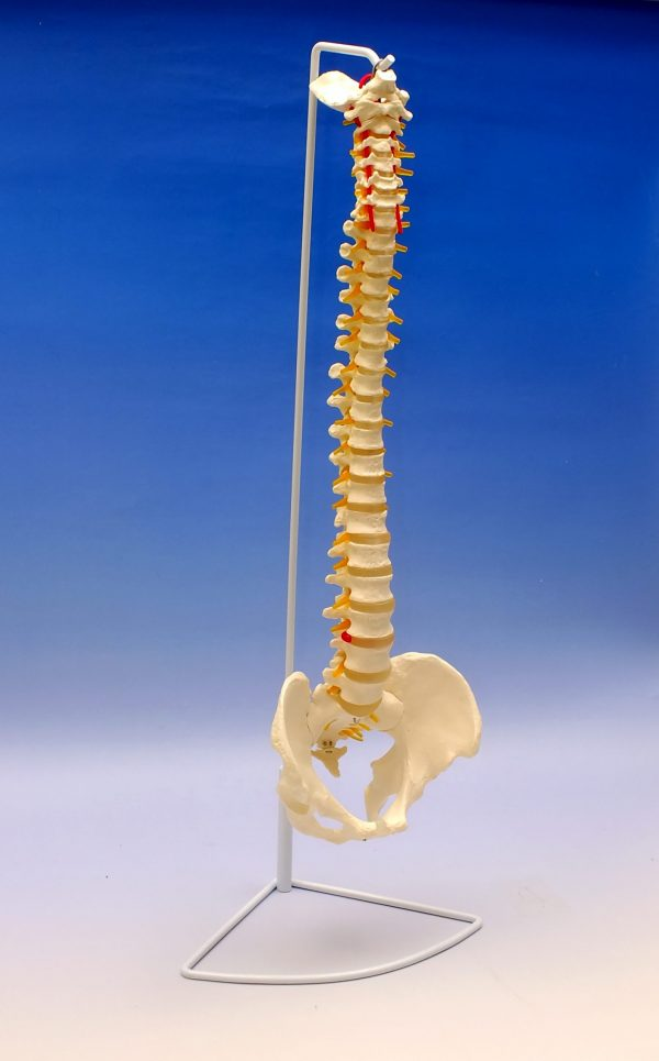 Coloana vertebrala cu bazin 1