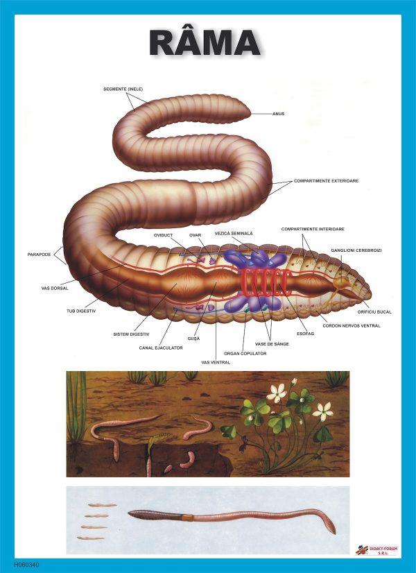 Rama - Lumbricus terrestris 1